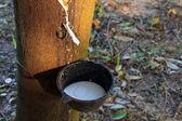 La gomma che escono dall'albero chiamata hevea brasiliensis — Foto Stock