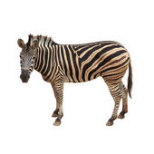Zebra isoliert auf white.clipping pfad. — Stockfoto