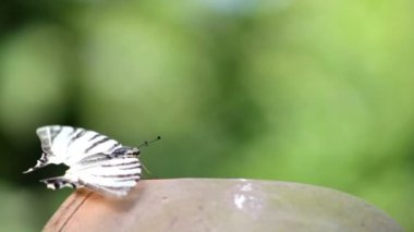 Butterfly sits on a clay pot — ストックビデオ