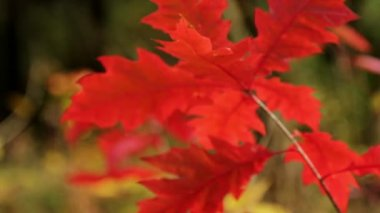 Autumn leaves (close-up) — Wideo stockowe
