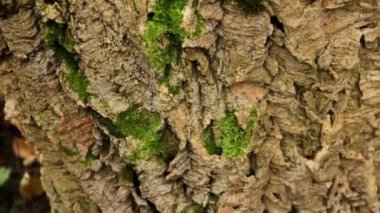 Bark of a tree (close-up) — Stock Video