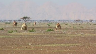 Camels in the desert,dromedary in the desert — 图库视频影像