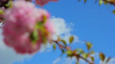 A sprig of sakura blossoms in spring,spring cherry blossom — Stock Video