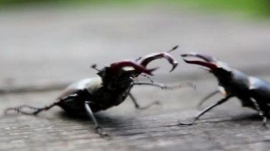 Insect stag beetle.Beetle deer in the wild. — Stock Video