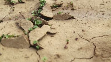 Dry cracked soil during a drought, Plants make their way during a drought — Stock Video