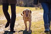 Forte cane cammina libero nel prato — Foto Stock