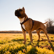 Stock Photo: Strong dog walking free in meadow