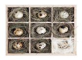 Quail eggs in a wooden box — Stock Photo