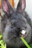 Rabbit eating grass. — Stock Photo