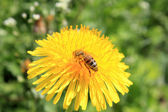 A bee on a dandelion. — Stock Photo