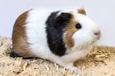 Guinea pig chips. — Stock Photo
