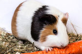 Guinea pig with a carrot. — Stock Photo