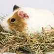 Stock Photo: Rodent in hay.
