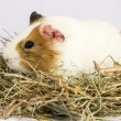 Rodent in the hay. — Stock Photo