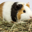 Stock Photo: Three color Guinepig on hay.