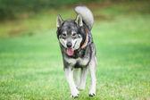 Elkhound sueco — Foto Stock