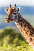 Wildlife Giraffe Animal Portrait — Stock Photo