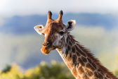 Wildlife Giraffe Animal Detail — Stock Photo