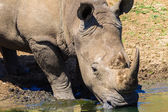 Rhino Water Reflections — Stock Photo