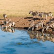 Постер, плакат: Zebras Water Reflections Wildlife