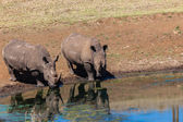 Rhino's Morning Water Reflections — Stock Photo