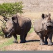 Stock Photo: Rhino's Growl Head-On