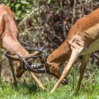 Wildlife Buck Horn Fight — Stock Photo