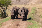 Rhino's Growl Head-On — Stock Photo