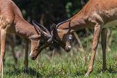 Wildlife Buck Horn Fight — Stock Photo