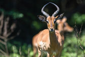 Wildlife Young Male Buck — Stock Photo