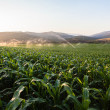 Farming Maize Crop Water Spraying — Stock Photo