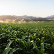 Stock Photo: Farming Maize Crop Water Spraying