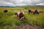 рога животных быка — Стоковое фото