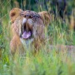 Lion Yawn Willdlife Long Grass — Stock Photo