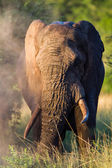 Bull Elephant Dusting Wilderness — Stock Photo