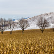 Winter Dry Maize Crops Mountains — Stock Photo