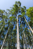 Trees High Blue Sky Forests — Stock Photo