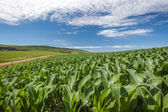 Maize Food Crops Green Blue — Stock Photo