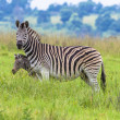 Постер, плакат: Zebra Calf Alert Wildlife