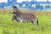 Zebra Calf Alert Wildlife — Stock Photo