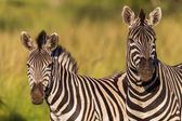 Zebra's Alert Wildlife — Stock Photo