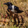 Постер, плакат: Wildlife Crow Bird Carcass