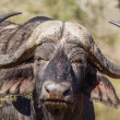 Stock Photo: Wildlife Buffalo Head Horns