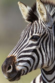 Zebra Head Animal — Stock Photo