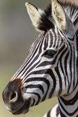 Zebra Head Animal — Stock Photo