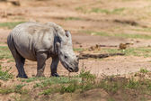 Rhino Calf Wildlife Animal — Photo