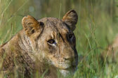 Lioness Grass Wildlife — Stock Photo