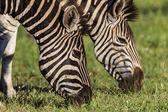 Zebras Heads Eating Grass — Stock Photo