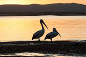 Pelican Birds Sunset Nature — Stock Photo