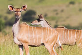 Buck Wildlife Safari — Stock Photo